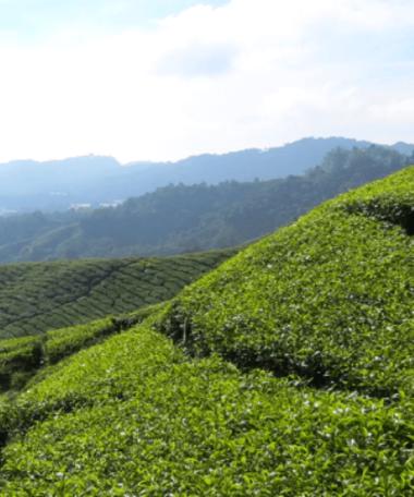 Malaysia Tea