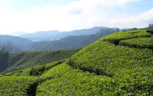 Bild der Cameron Highlands in Malaysia