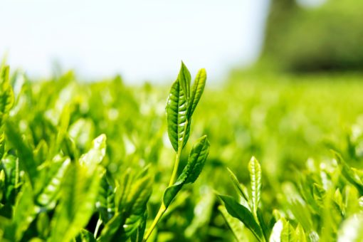 Sencha Grüner Tee, lose Premium